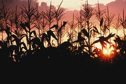 GMO Corn Nightmare